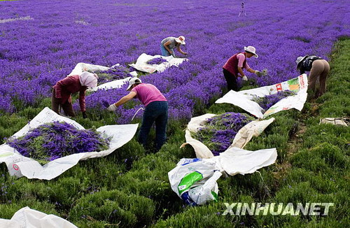 bulan Jun yang lalu, di kawasan ini, bunga lavender berkembang mekar ...