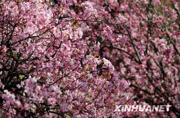 Mekar Dalam Talian: ini, beribu-ribu kuntum bunga sakura dan begonia ...