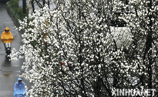 Bunga Magnolia Mekar Indah di Bandar Suzhou