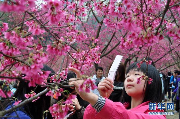 Bunga Sakura Berkembang Taman Hutan Shimen Bandar Nanning Wilayah